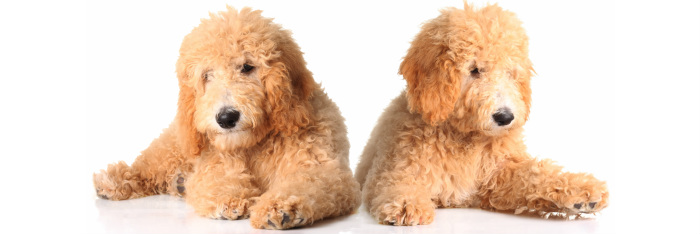 Adorable Goldendoodles Goldendoodles Cincinnati Ohio